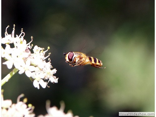 c Hover fly