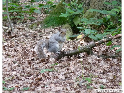 d Grey Squirrel