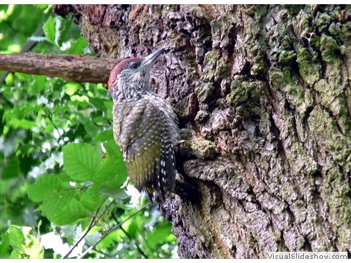 l Young Green Woodpecker